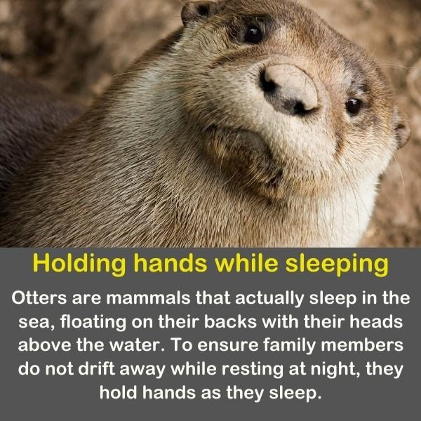 Otters are mammals that actually sleep in the sea