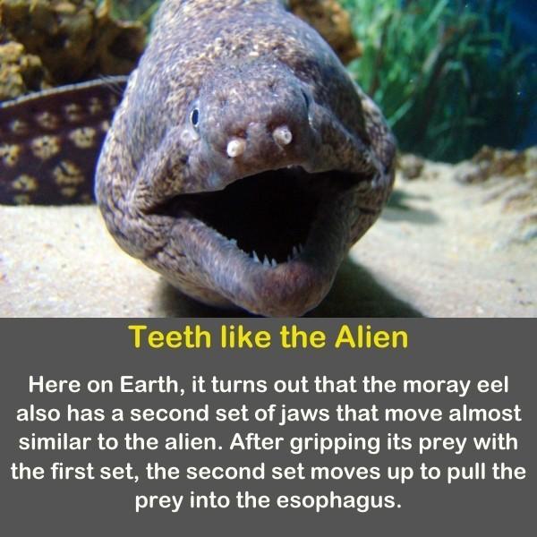Moray eel has teeth like alien