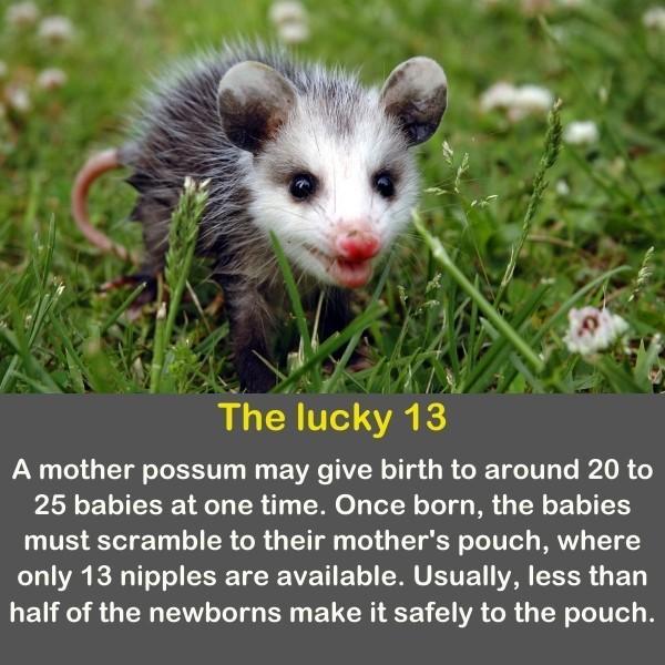 A mother possum on the grass.