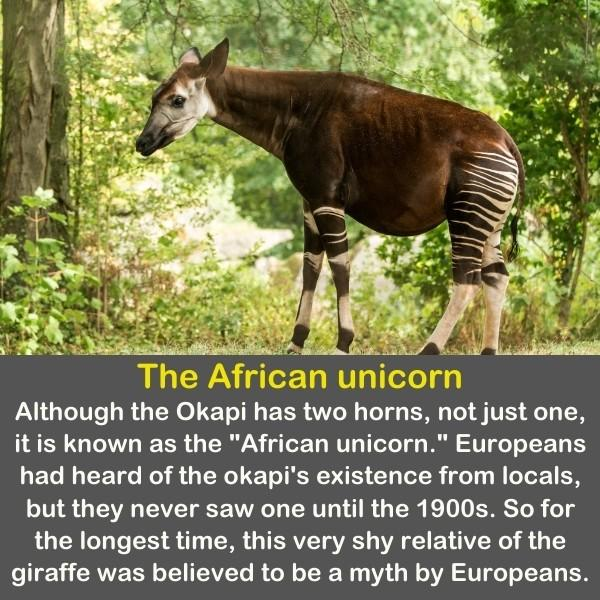 A unique Okapi in the middle of the forest.