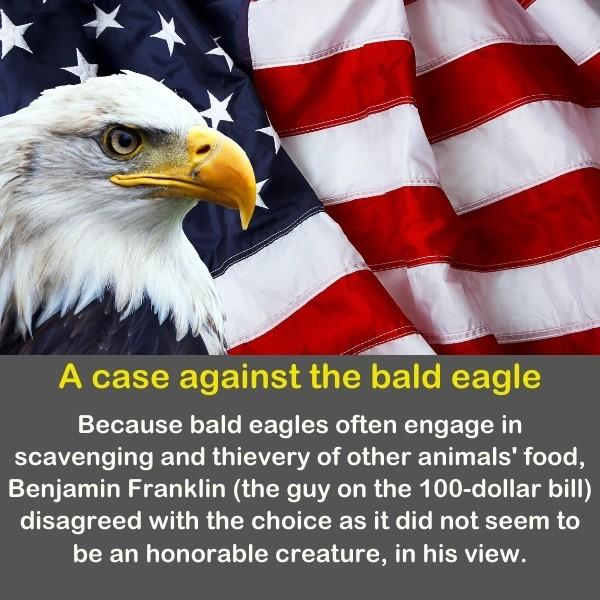 The bald eagle with the American flag of the united states