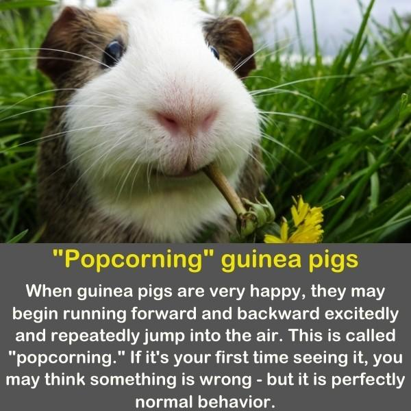 A funny guinea pig with a flower in his mouth.