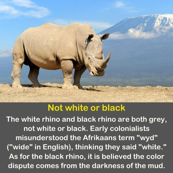 The white rhino with mountains in the background.