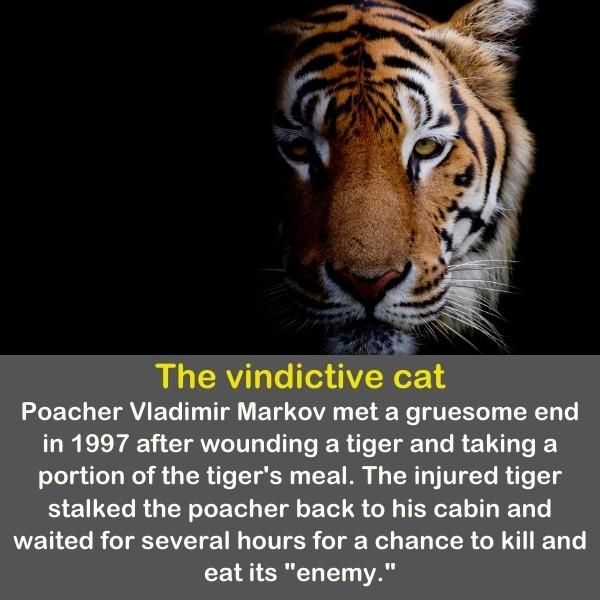 A beautiful Tiger is coming out of the dark.