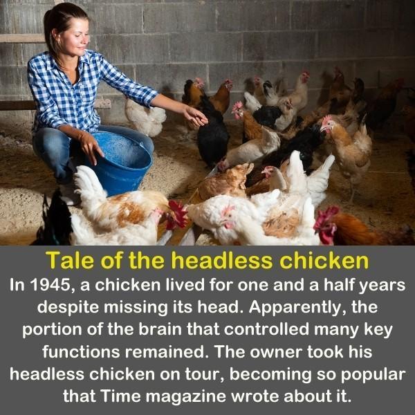 A woman feeding many chickens.