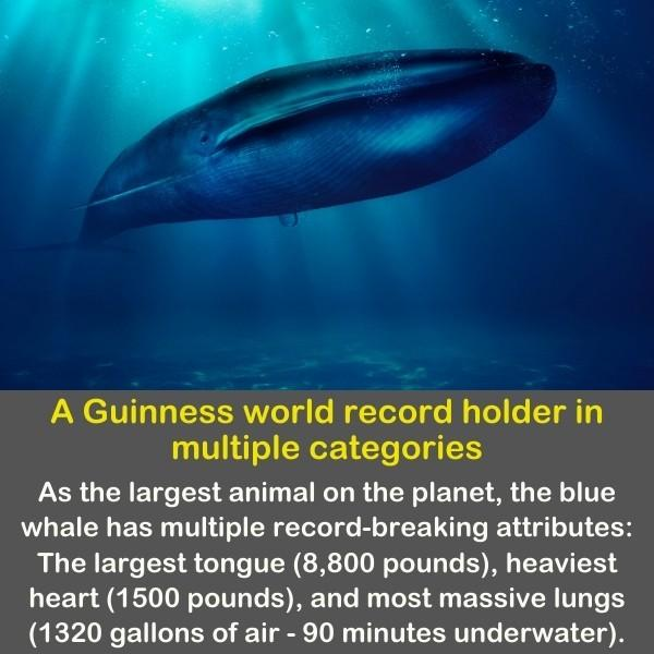 A beautiful giant blue whale with the sunshine penetrating the water above him.