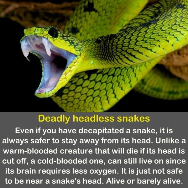 A green snake with his mouth opens wide.