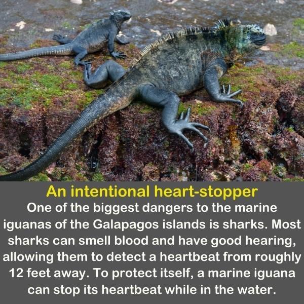 Two marine iguanas on the cliff.