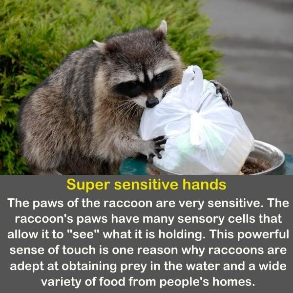 A raccoon is looking for food in the trash can.