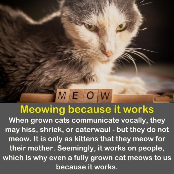 A cat stands with the word MEOW near him.