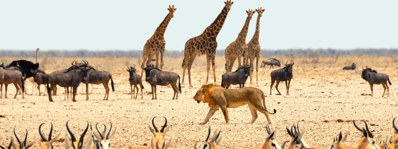 Many animals in the African savanna: Lions, Giraffes, and more.