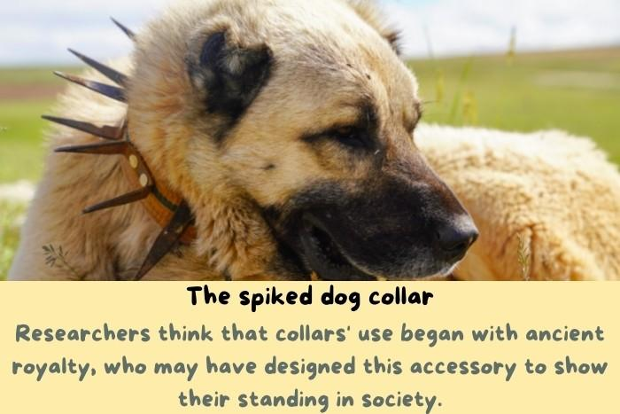 Spiked collar on a dog.