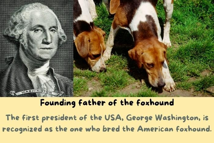 George Washington is the founding father of the foxhound.