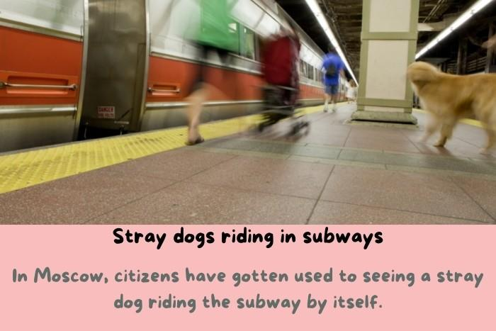 Stray dogs riding in subways