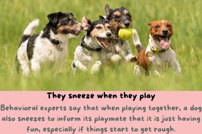 Dogs sneeze when they play.