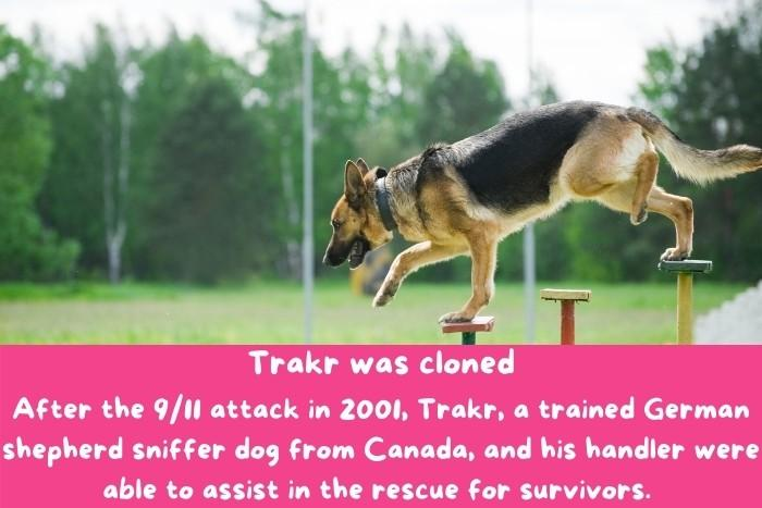 Trakr, a trained German shepherd sniffer dog