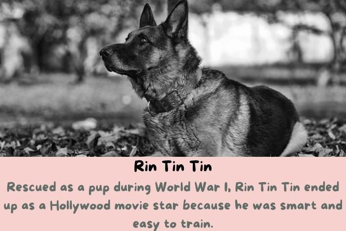 Rin Tin Tin ended up as a Hollywood movie star