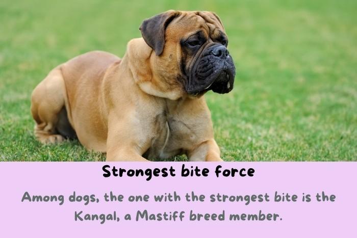 Kangal, a Mastiff breed