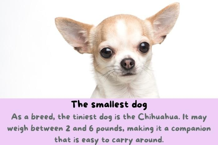 Chihuahua, the smallest dog.