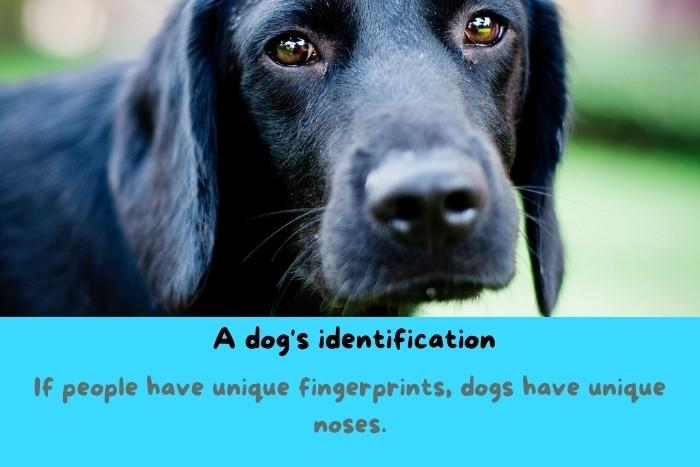 A lovely black dog with a close-up to his nose.