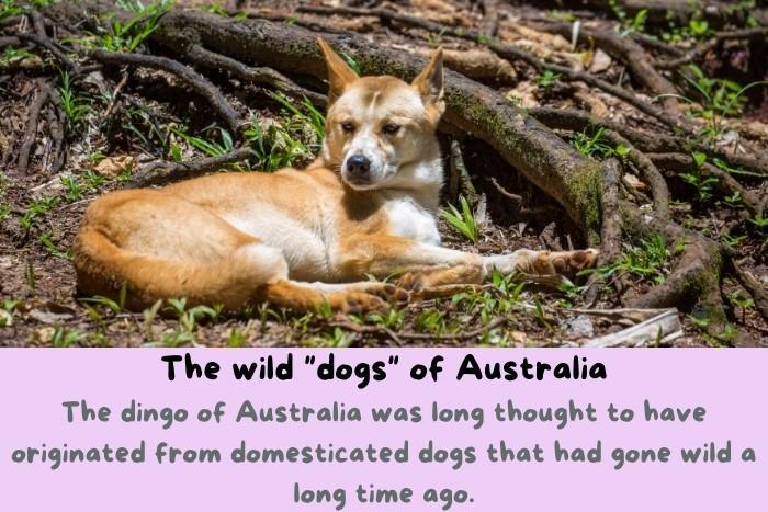 """The Dingo is the wild """"dogs"""" of Australia."""