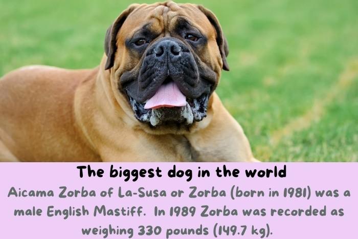 Aicama Zorba, the biggest dog in the world.