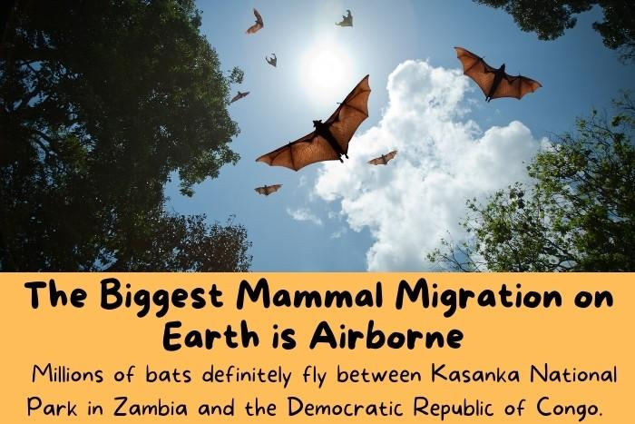 Big bats flying in the sky.