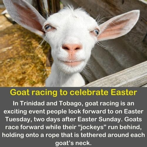 A funny close up of a Goat.