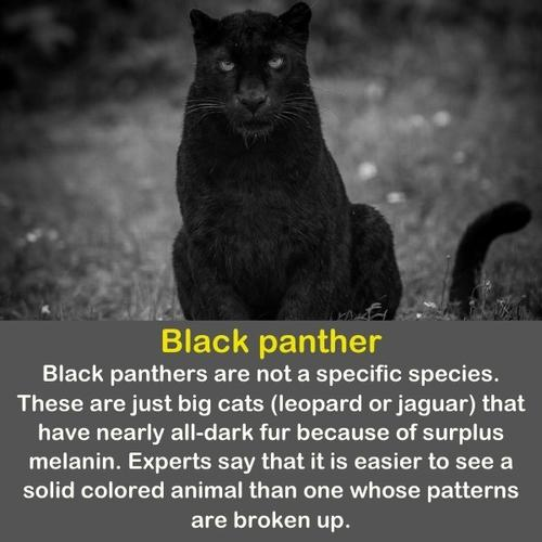 Black panther looking at the camera.