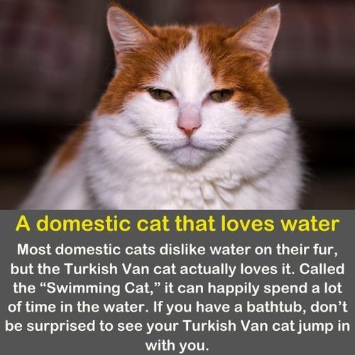 A Turkish van cat that loves water.