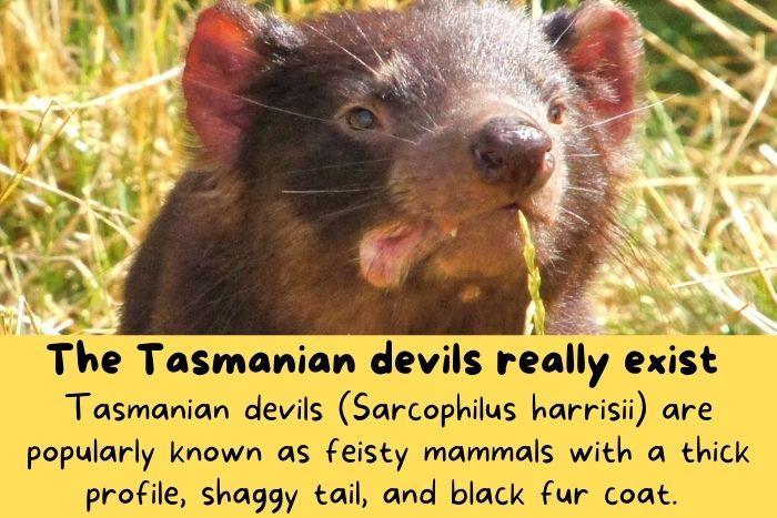 Tasmanian devils for Australia.