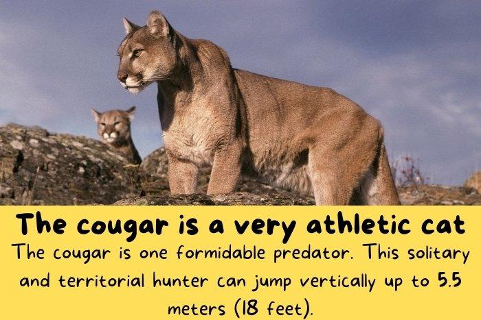 The cougar is one formidable predator.