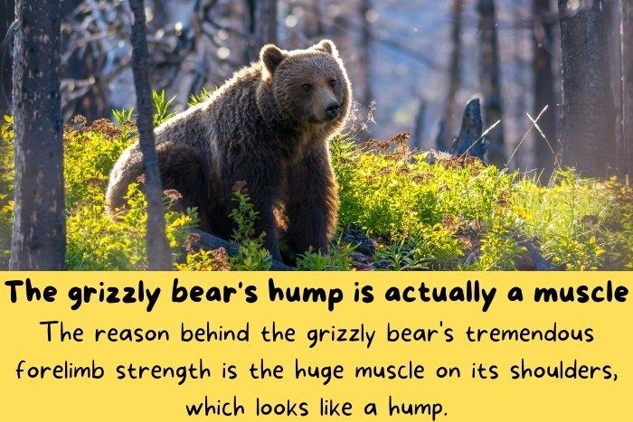 The grizzly bear's hump is actually a muscle