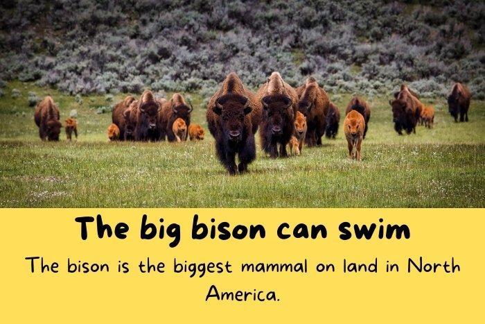 Canadian big bison