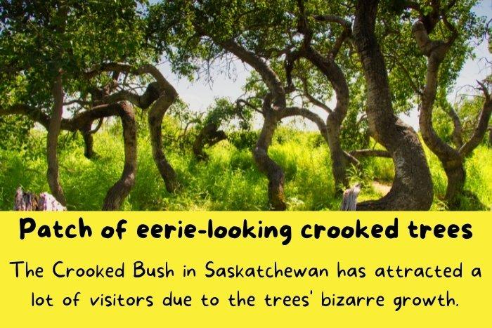 The Crooked Bush in Saskatchewan