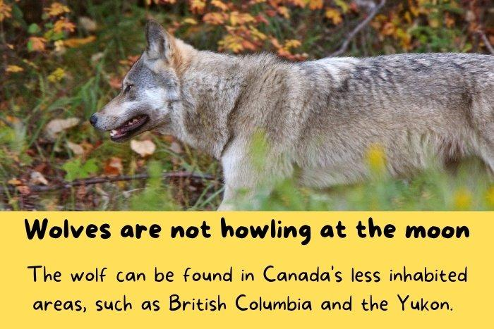Wolves in British Columbia and the Yukon in Canada.