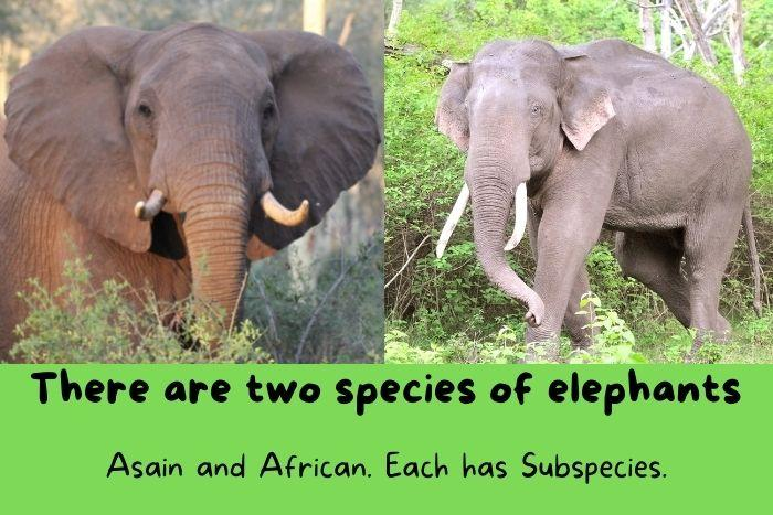 There are many interesting fun facts about elephants but the first know is that there are two species - African elephants and Asian elephants.