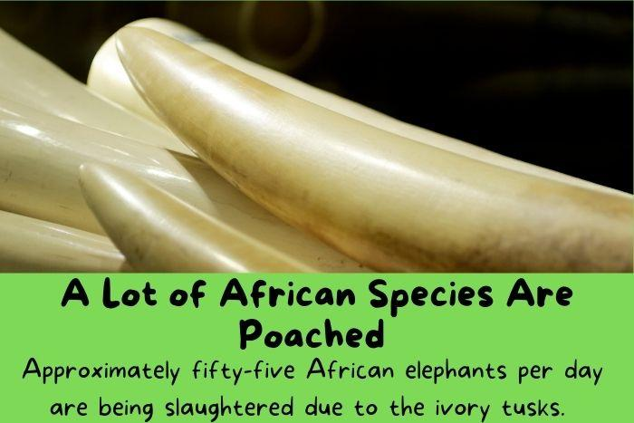 A Lot of African Elephants Species Are Poached