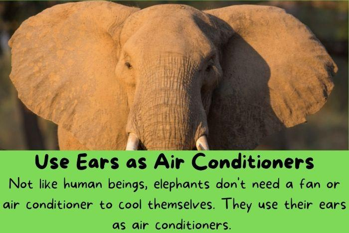 Use Ears as Air Conditioners