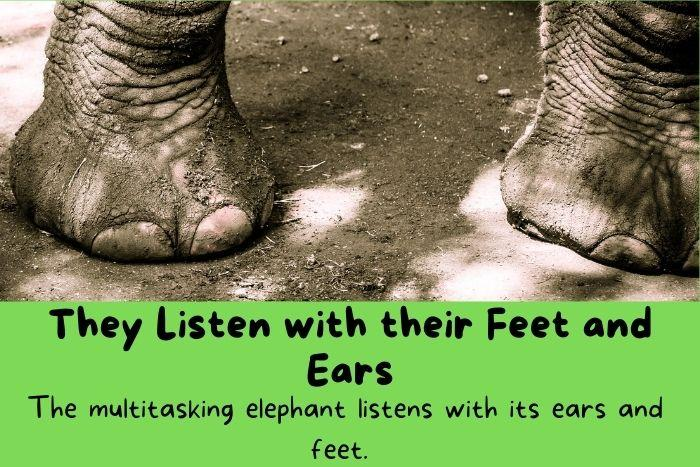 They Listen with their Feet and Ears