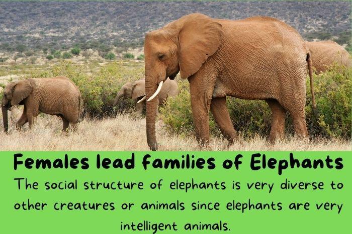 Females lead families of Elephants