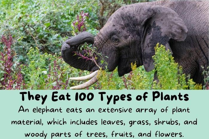 Elephants eats plants