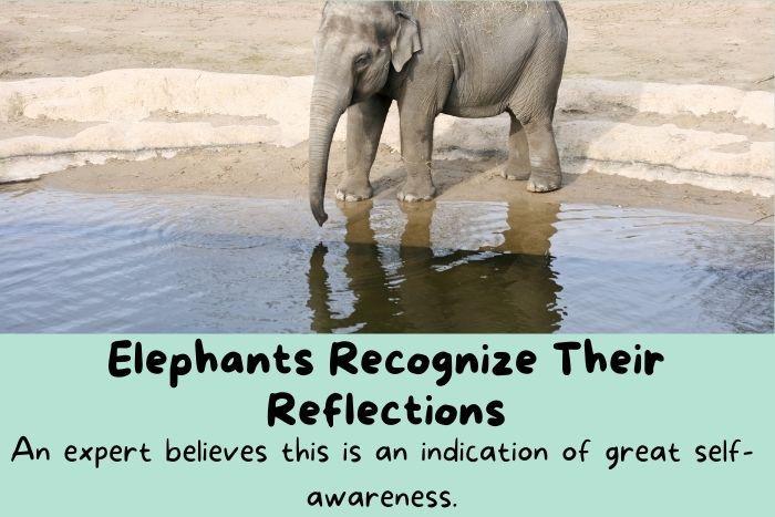 Elephants reflection