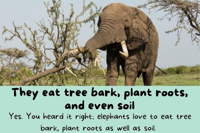 Elephants eats