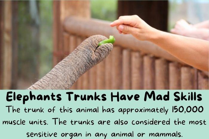 Elephants trunk holding small beans