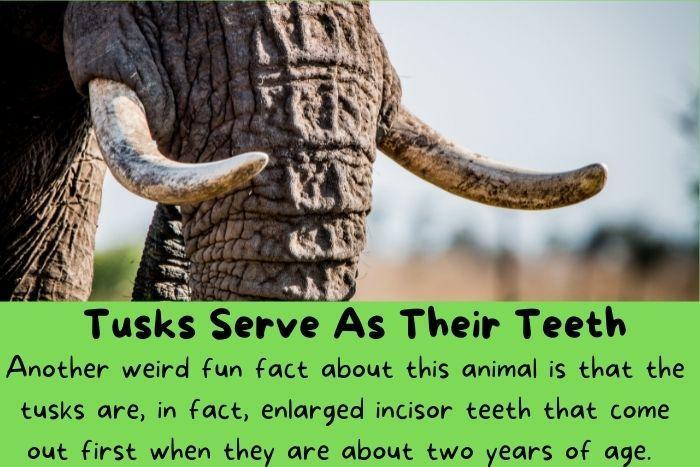 Tusks Serve As Their Teeth