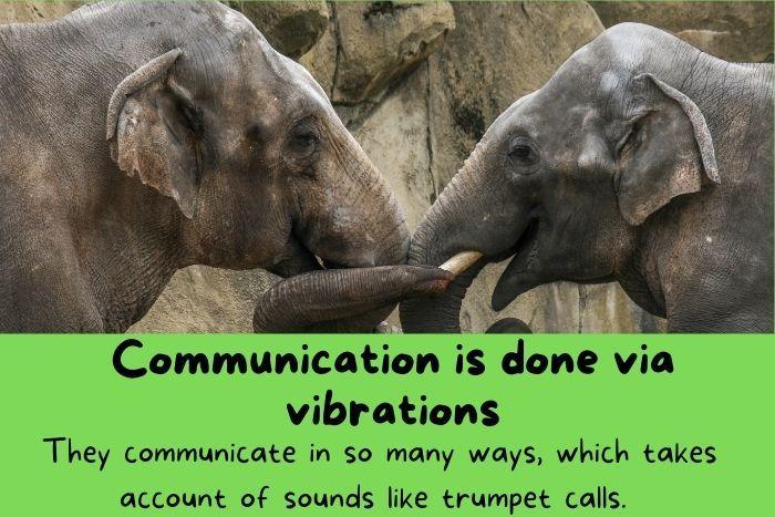 Elephants Communication is done via vibrations