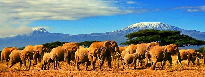 A herd of elephants in Kenya with the Kilimanjaro in the background