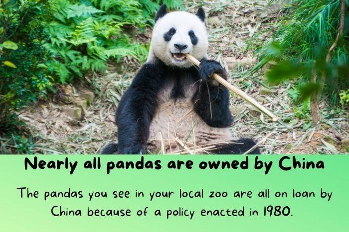 Pandas in China.