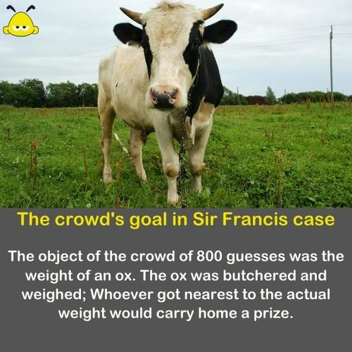 A photo of an ox - The goal of the crowd was to guess the OX weight.